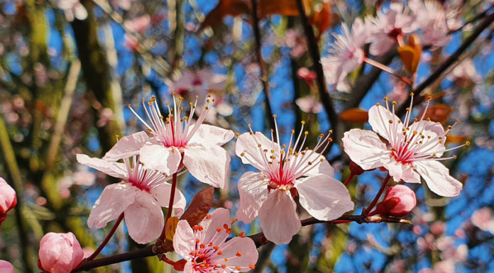 Blutpflaume Blüte