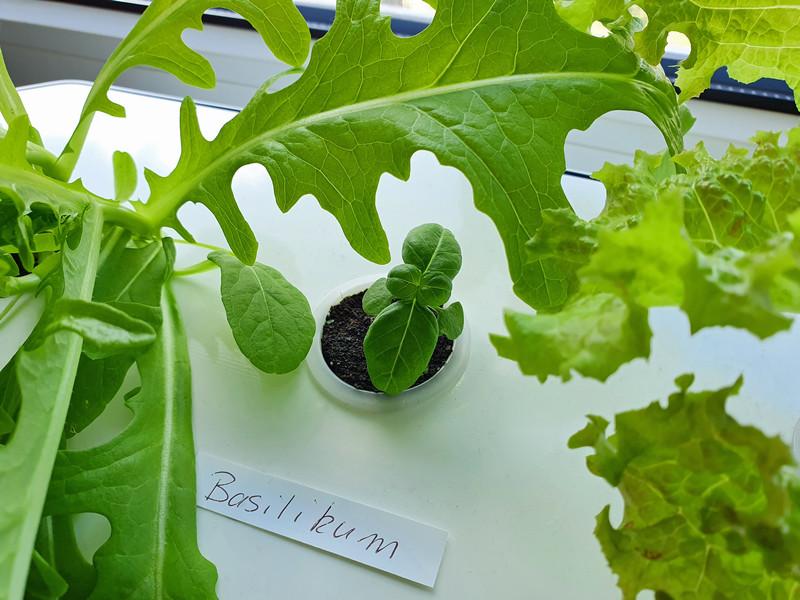 Nelson Garden Hydroponic Pflanzenkultur Basilikum
